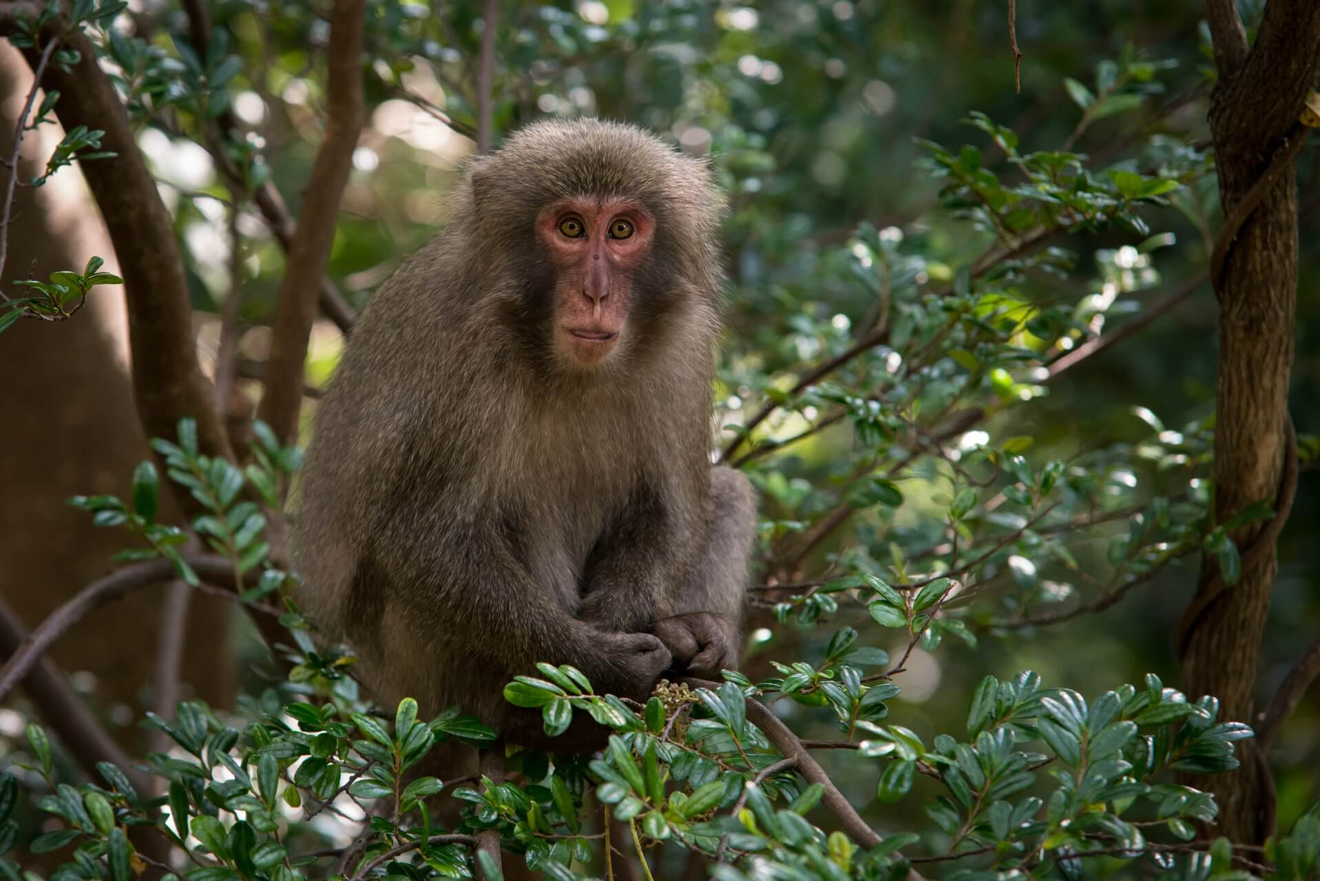 Japan: Yakushima Island: Yakushima-Makake, Fotograf: Steffen Lohse