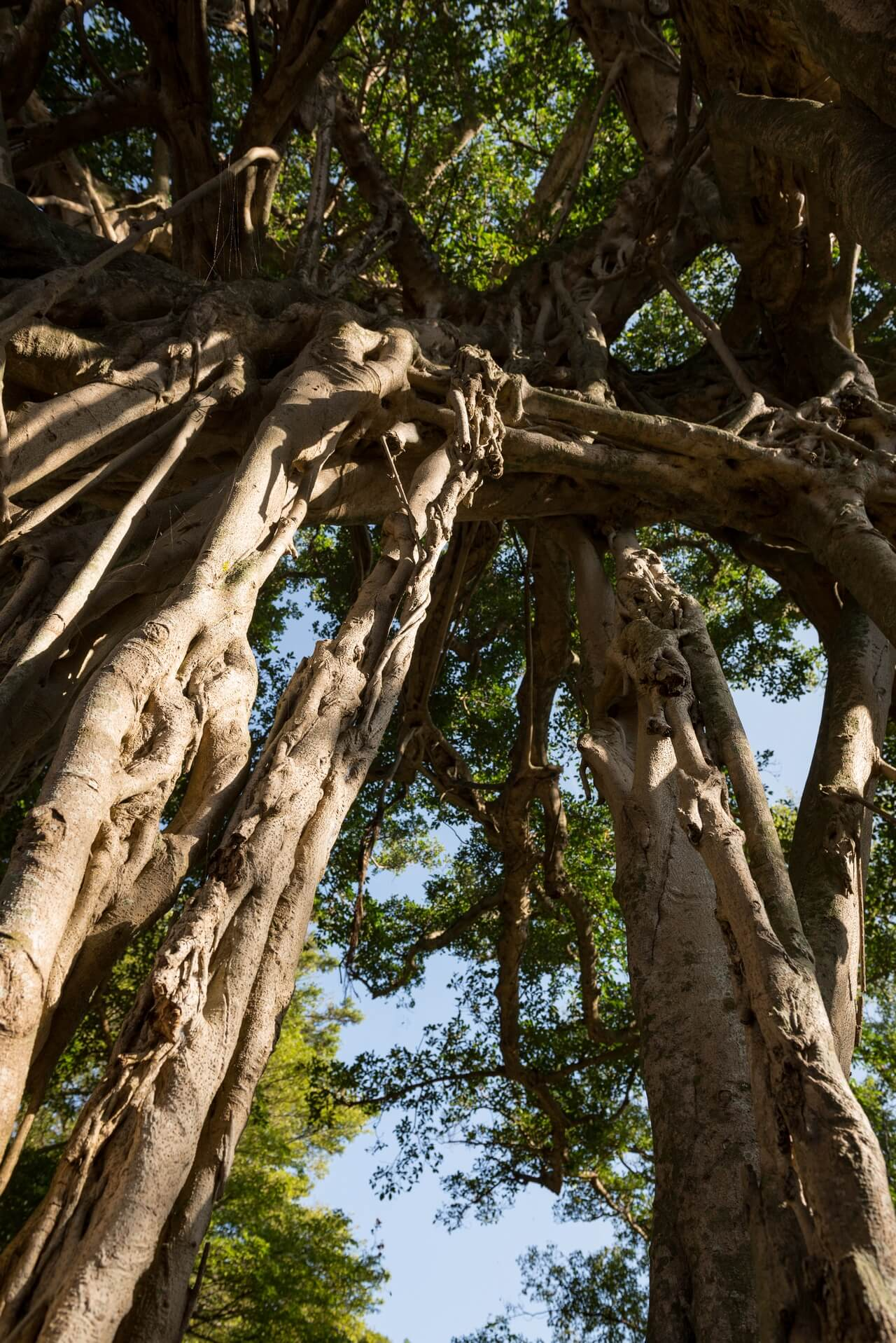 Japan: Yakushima Island: Banyan in Nakama, Fotograf: Steffen Lohse